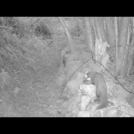 Pine martens in Shropshire 2021