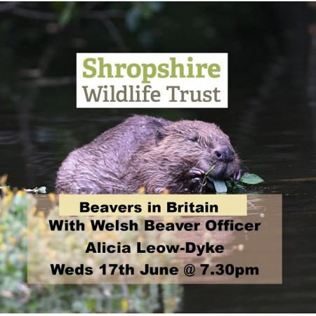 Beavers in Britain