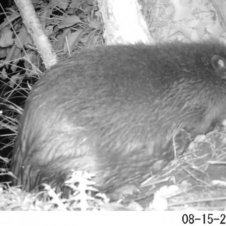 Beavers on camera