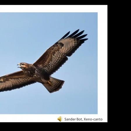 Birds of prey in Shropshire